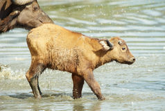 Buffalo (Syncerus caffer) calf with his mother. Crossing the river in the wild in South Africa stock image