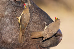 Buffalo (Syncerus caffer) in the wild. Buffalo (Syncerus caffer) close-up with Red-billed Oxpeckers (Buphagus erythrorhynchus) in the wild in South Africa royalty free stock photo