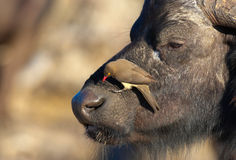 Buffalo (Syncerus caffer) in the wild. Buffalo (Syncerus caffer) close-up with Red-billed Oxpecker (Buphagus erythrorhynchus) in the wild in South Africa stock photos