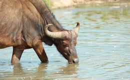 Buffalo (Syncerus caffer) in the wild Royalty Free Stock Photos