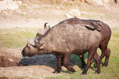 Buffalo (Syncerus caffer) in the wild. Buffalo (Syncerus caffer) close-up with Red-billed Oxpecker (Buphagus erythrorhynchus) in the wild in Botswana royalty free stock photos