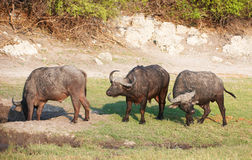 Buffalo (Syncerus caffer) in the wild. Buffalo (Syncerus caffer) close-up with Red-billed Oxpecker (Buphagus erythrorhynchus) in the wild in Botswana stock photography