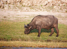 Buffalo (Syncerus caffer) in the wild Stock Images