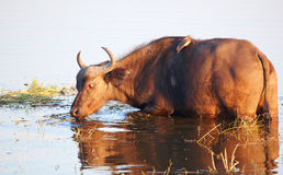 Buffalo (Syncerus caffer) in the wild Royalty Free Stock Images