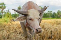 Buffalo tailandese nel campo Fotografia Stock Libera da Diritti