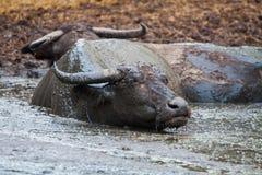 Buffalo in Tailandia Immagini Stock Libere da Diritti