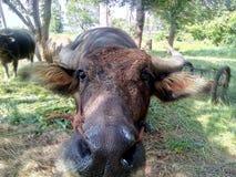 Buffalo Tailandia Fotografia Stock Libera da Diritti
