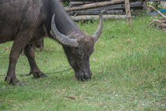 Buffalo Tailandia Immagine Stock