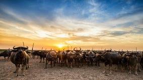 Buffalo in Tailandia al tramonto Fotografia Stock Libera da Diritti