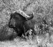 Buffalo in Tanzania Royalty Free Stock Photography