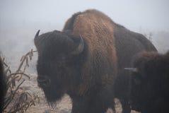 Buffalo Taureau à l'intérieur d'un nuage avec le cactus Photos stock