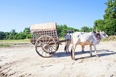 Buffalo taxi in Myanmar Royalty Free Stock Photography