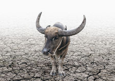 Buffalo tether on the cracked soil ground Royalty Free Stock Photos