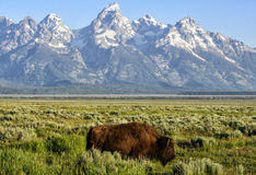 Buffalo in the Tetons. A buffalo crosses the Antelope Flats in front of the mountains at sunrise.  Grand Teton national park, wyoming Royalty Free Stock Photos