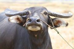 Buffalo thaï Photographie stock