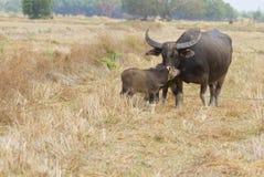Buffalo thaï Image libre de droits
