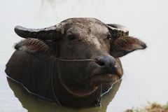 Buffalo in Thailand Royalty Free Stock Images