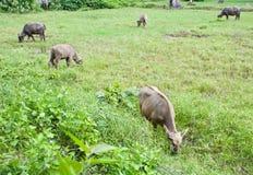 Buffalo in Thailand Royalty Free Stock Photo