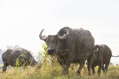 Buffalo in thailand Royalty Free Stock Photography