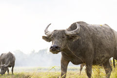 Buffalo in thailand Stock Image