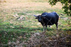 Buffalo Thailand , Asia is eating grass. Stock Photography