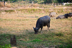 Buffalo Thailand , Asia is eating grass. Stock Images