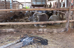 Buffalo Thailand Royalty Free Stock Image