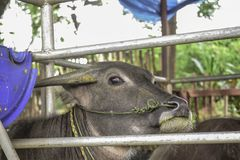 Thai buffalo or water buffalo in stable royalty free stock images