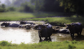 The buffalo in thailand country