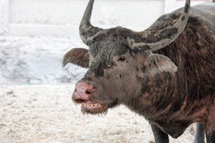 Buffalo Thailand faces stained with muddy Stock Images