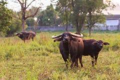Buffalo in Thailand Royalty Free Stock Photos