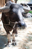 Buffalo. Thailand Buffalo is post on camera Royalty Free Stock Photography