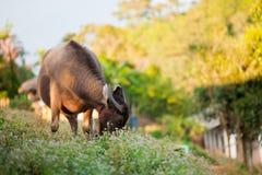 Buffalo, Thailand Stock Photography