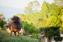 Buffalo, Thailand Royalty Free Stock Images
