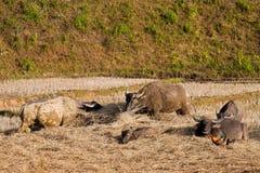 Buffalo, Thailand Stock Image