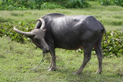 The buffalo in Thailand Royalty Free Stock Image