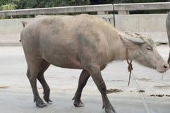 Buffalo in Thailand Stock Photo