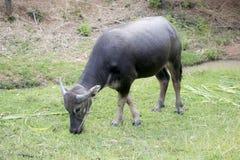 Buffalo in Thailand Stock Photography