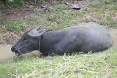 Buffalo in Thailand Royalty Free Stock Image