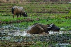 Buffalo Thailand Royalty Free Stock Photo
