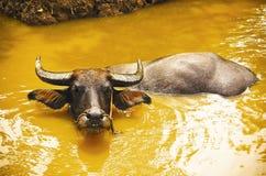 Buffalo tied at the riverbank Stock Photo
