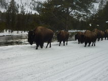 Buffalo on the trail. A herd of buffalo moves along in Yellowstone National Park Stock Photo