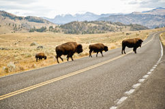 Buffalo traversant la route Photo stock