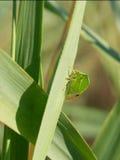 Buffalo Treehoppe (Stictocephala Bisonia) Stock Photo