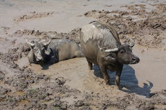 Water buffalos. Two water buffalos in the mud that see something Royalty Free Stock Photo