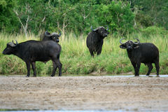 Buffalo, Uganda, Africa Stock Photography