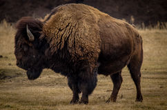 Buffalo. Up in Alberta. Bracing for the long cold winter Stock Image