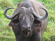 Buffalo up close Stock Photos