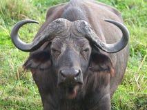 Buffalo up close Stock Photos