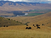 Buffalo, Valley and River. This image was taken in western MT in the National Bison Range near Moise Royalty Free Stock Photography